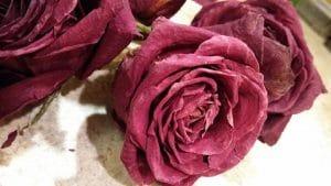 como secar una rosa