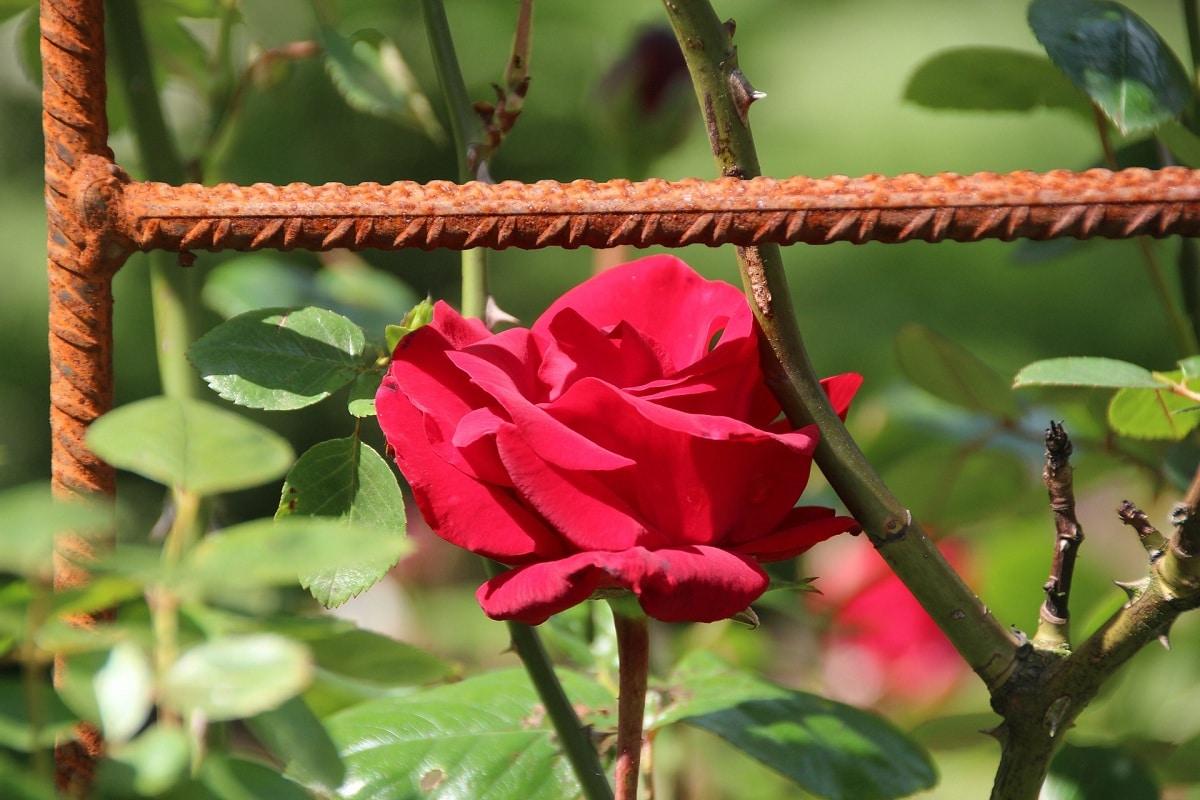 cuidados de rosales trepadores en maceta y caracteristicas