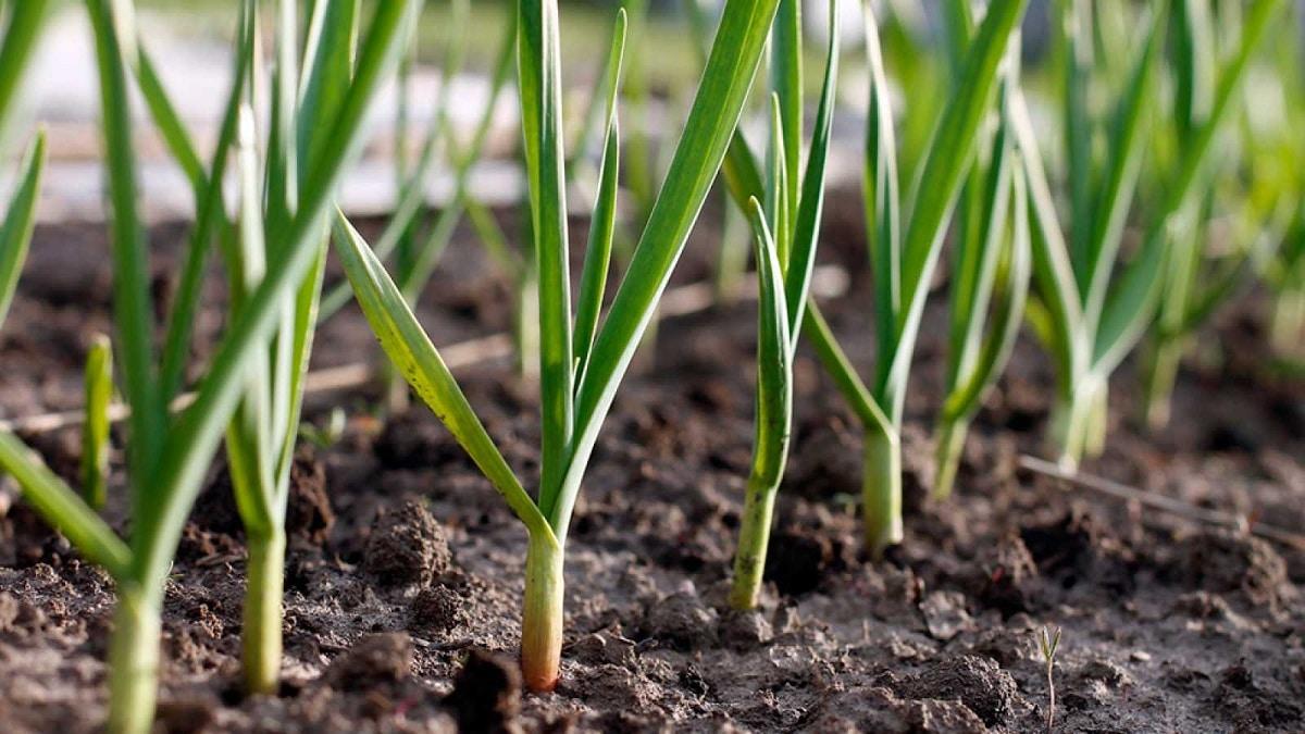 cultivos en crecimiento