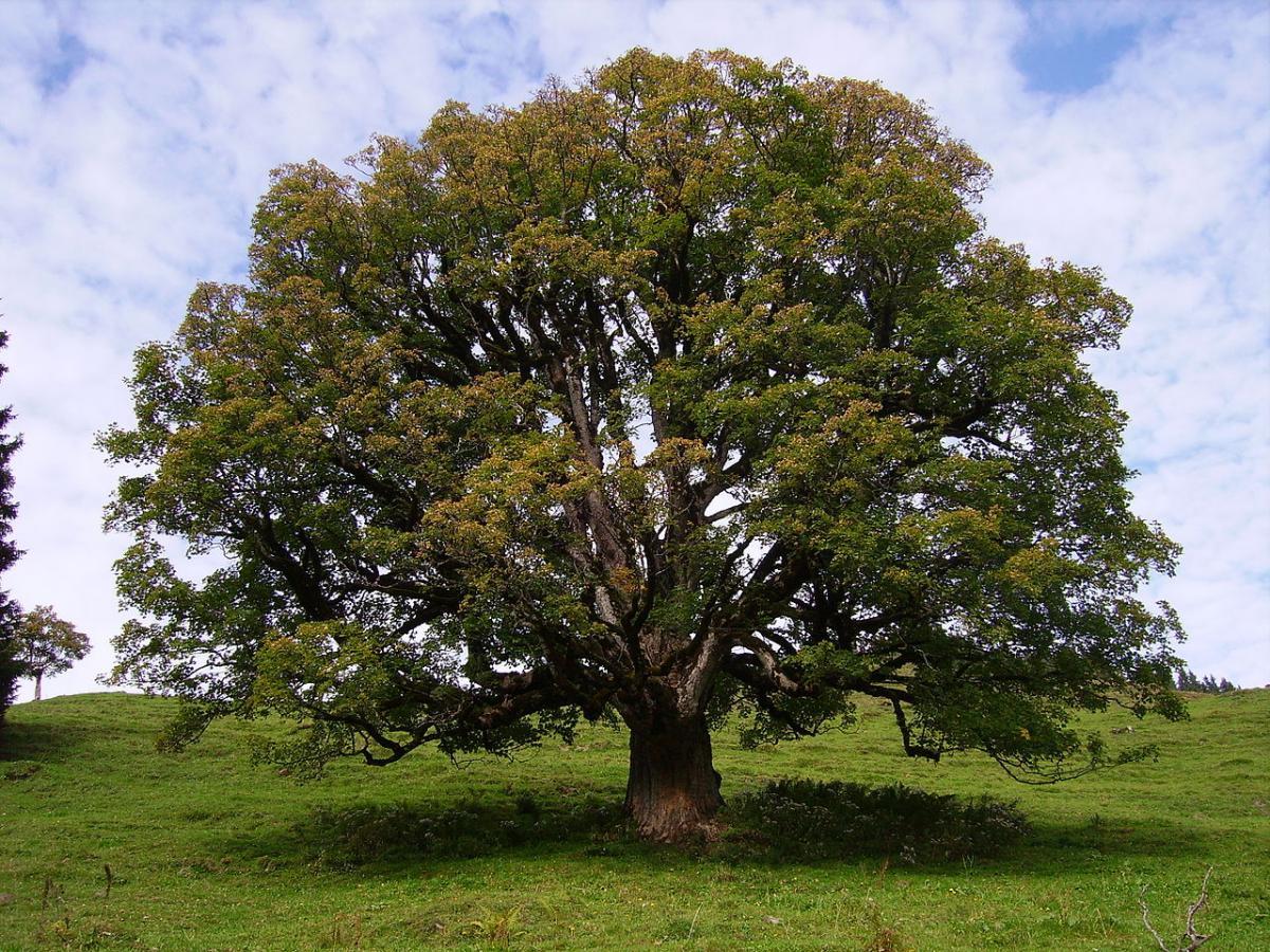 Los arces son árboles que producen sámaras