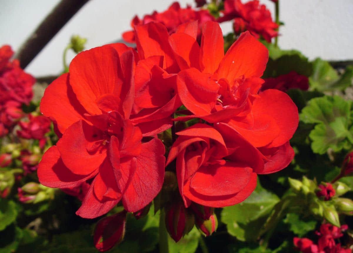 Los geranios de flores rojas son espectaculares