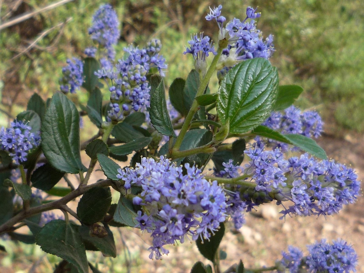 flores de la Ceanothus thysiflorus
