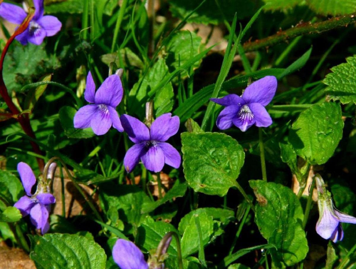 flores moradas de la Viola riviniana