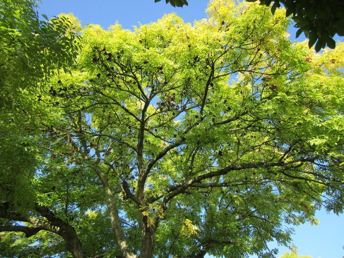 El fresno es un árbol que produce sámaras
