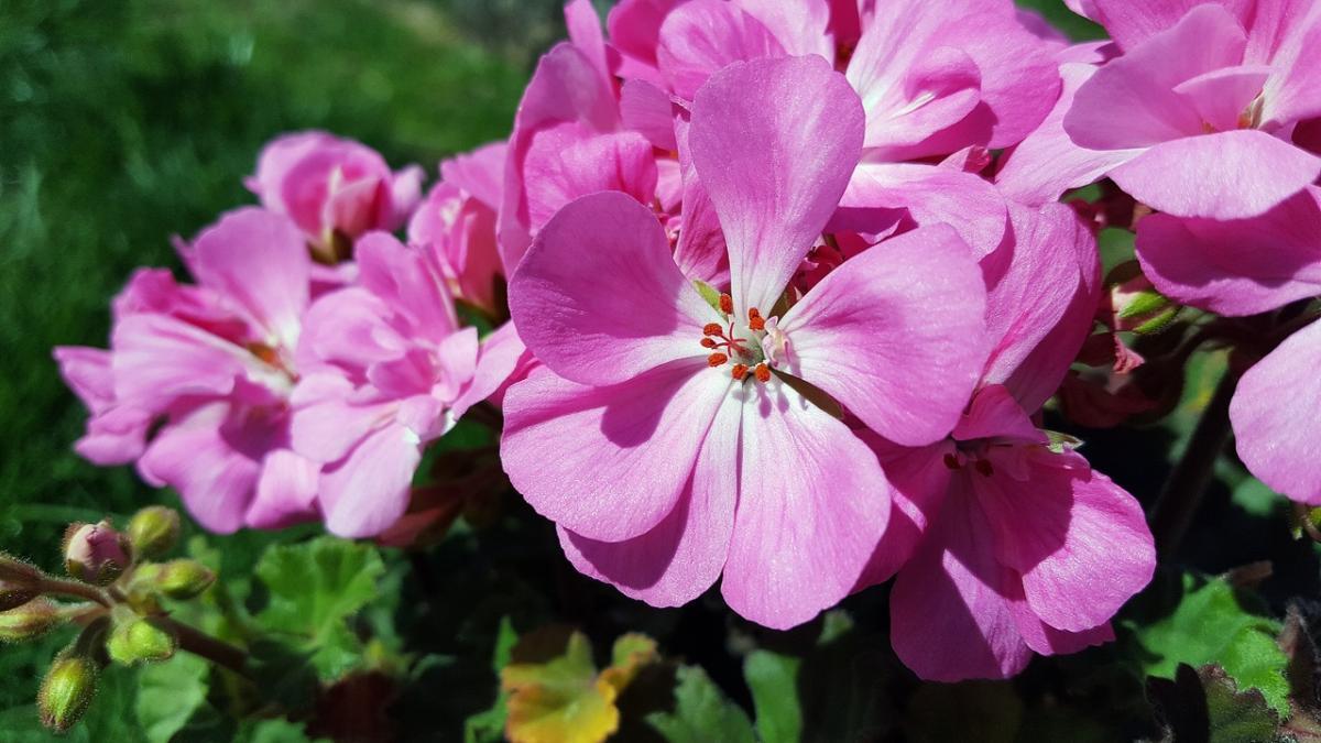 Los geranios son plantas con flores para macetas