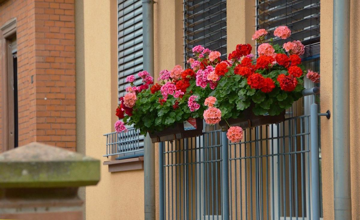 Los geranios son flores ideales para balcón