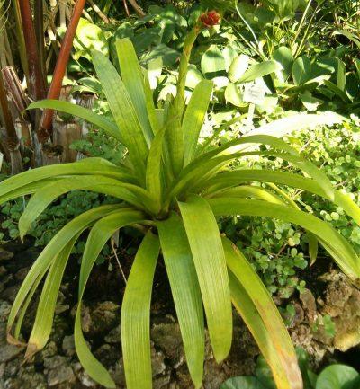 La Guzmania rubrolutea es una planta bonita