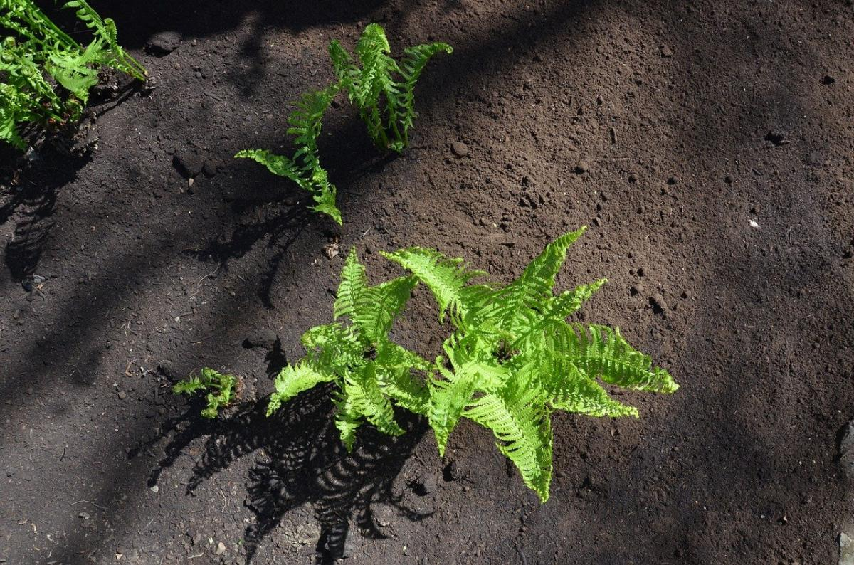 Los helechos son plantas que crecen en suelos fértiles
