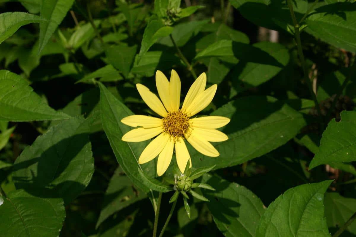 El Helianthus laetiflorus da flores amarillas