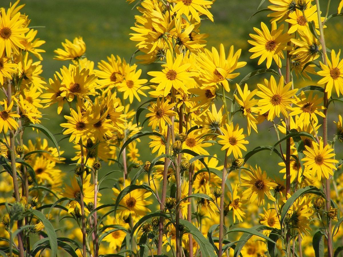 El Helianthus maximiliani es una hierba que florece en primavera