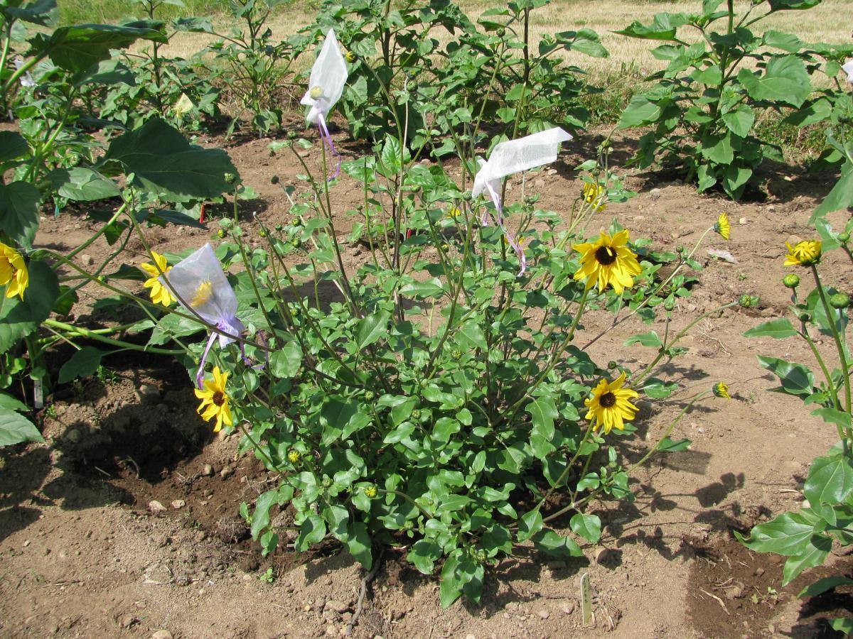 El Helianthus petiolaris es una herbácea de flores amarillas