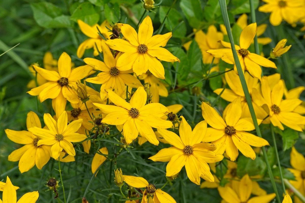 El Helianthus tuberosus es una planta herbácea