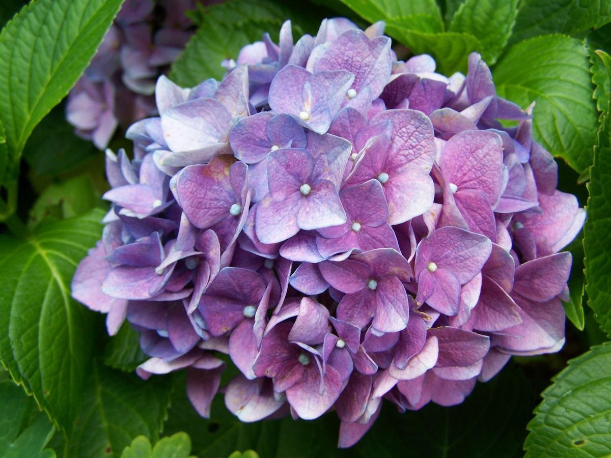 Las hortensias son arbustos que se pueden tener en maceta