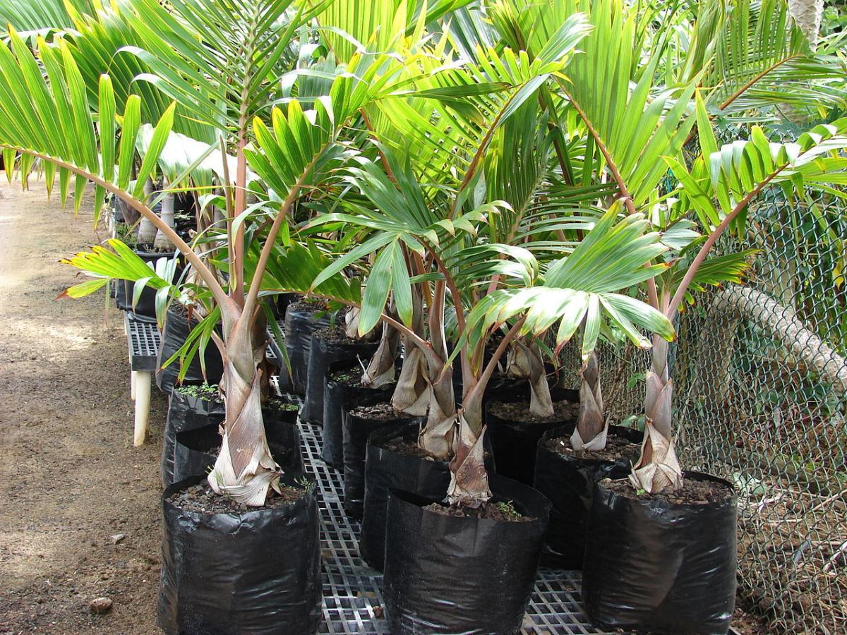 Se han de trasplantar las palmeras cada pocos años