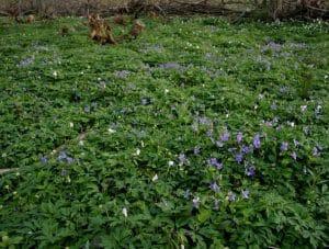 jardin lleno de flores de la Viola riviniana