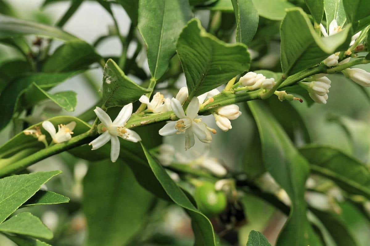El kumquat es un arbolito que produce flores