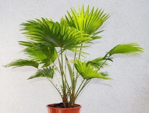 La Livistona rotundifolia es una palmera que se tiene mucho en maceta
