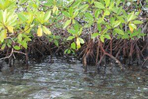 El manglar es un bioma marino