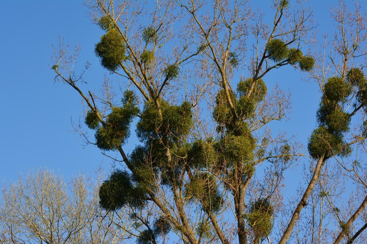 El muérdago es una planta parásita que imita a otras