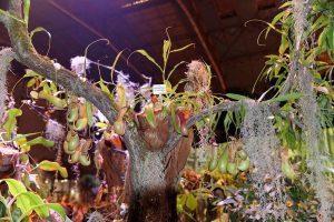 La Nepenthes ventrata es una planta colgante