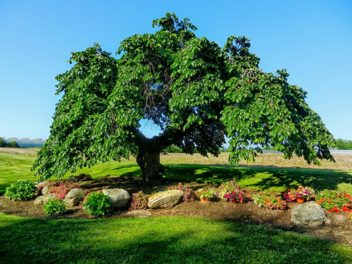 Los olmos son árboles que producen sámaras