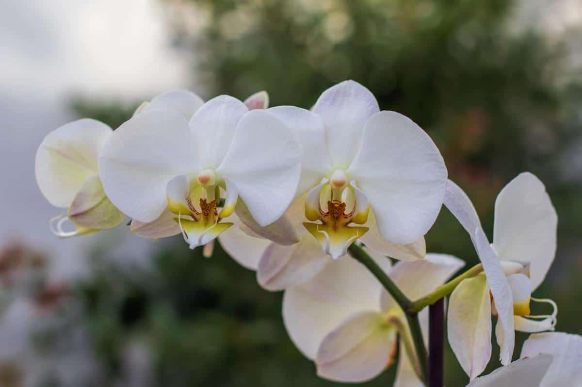 Las orquídeas son plantas que florecen en primavera