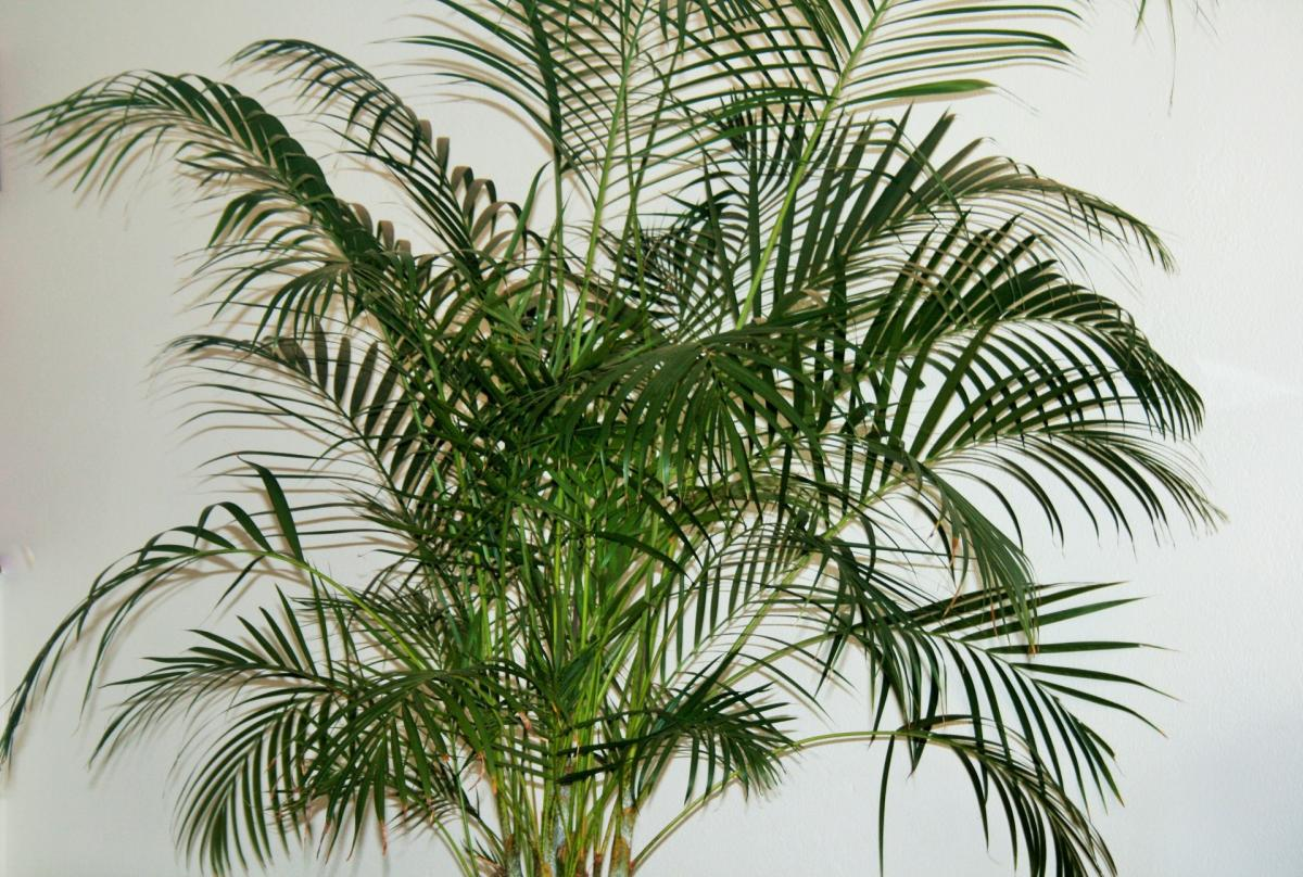 Las palmeras en maceta se han de cuidar