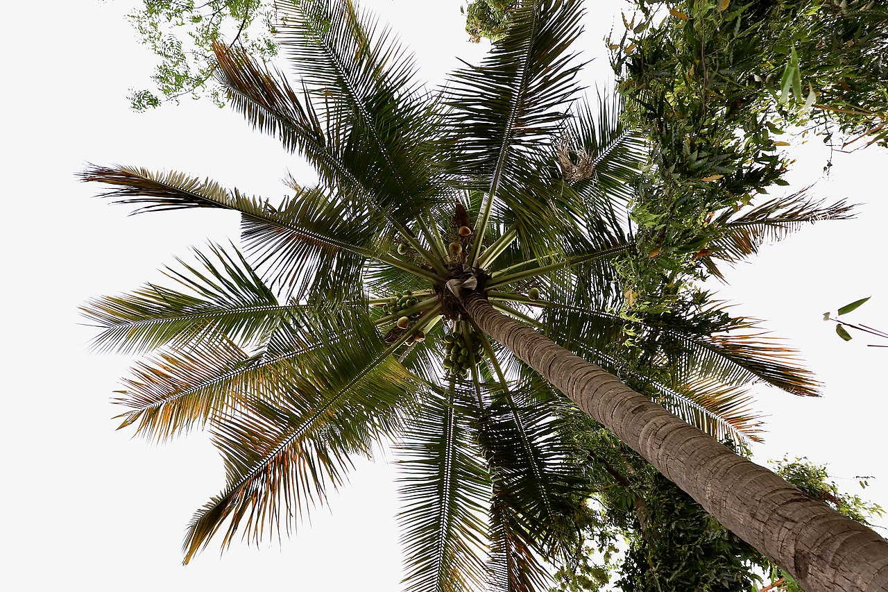 Vista de la palmera tropical cocotera