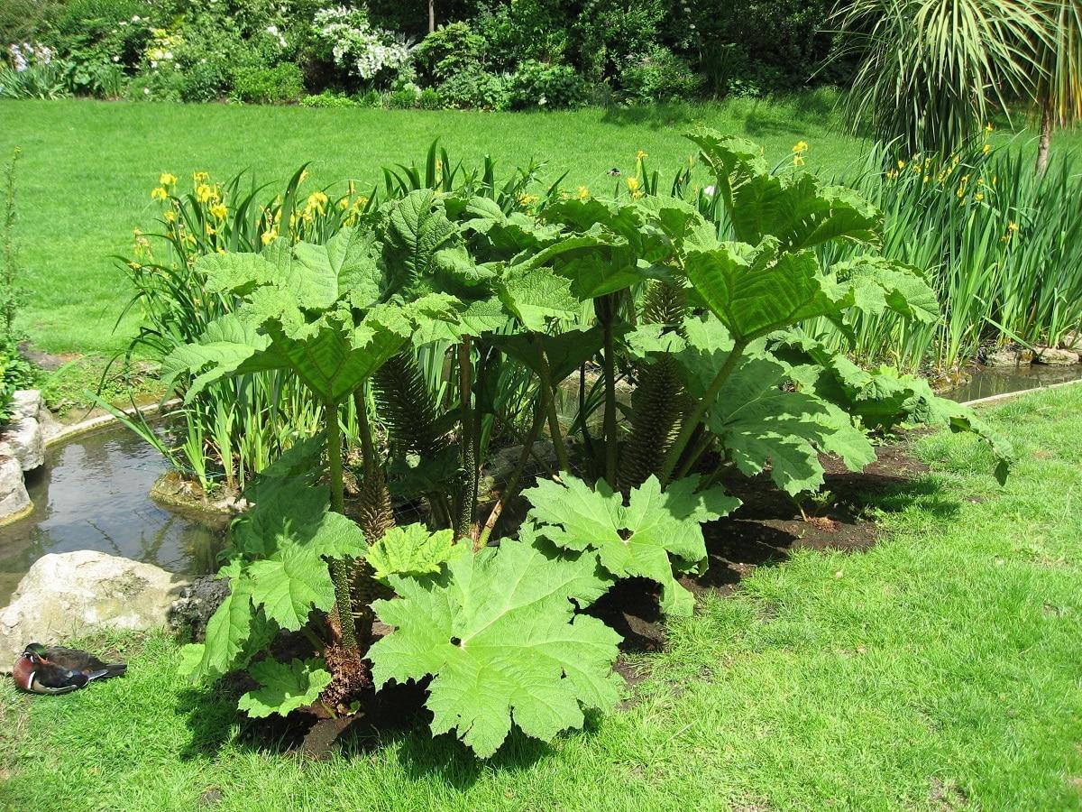 planta llamada Gunnera manicata