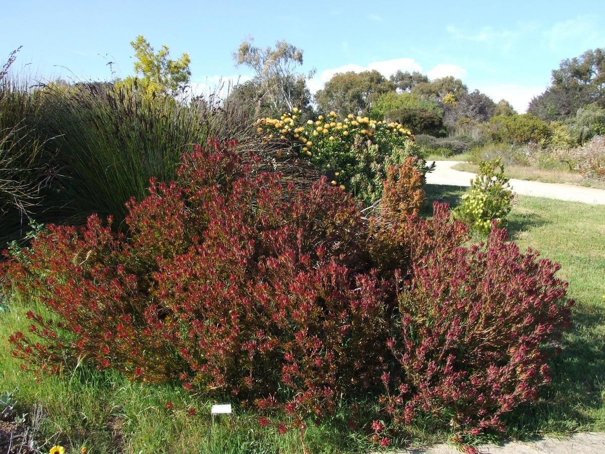 precioso arbusto llamado Leucadendron