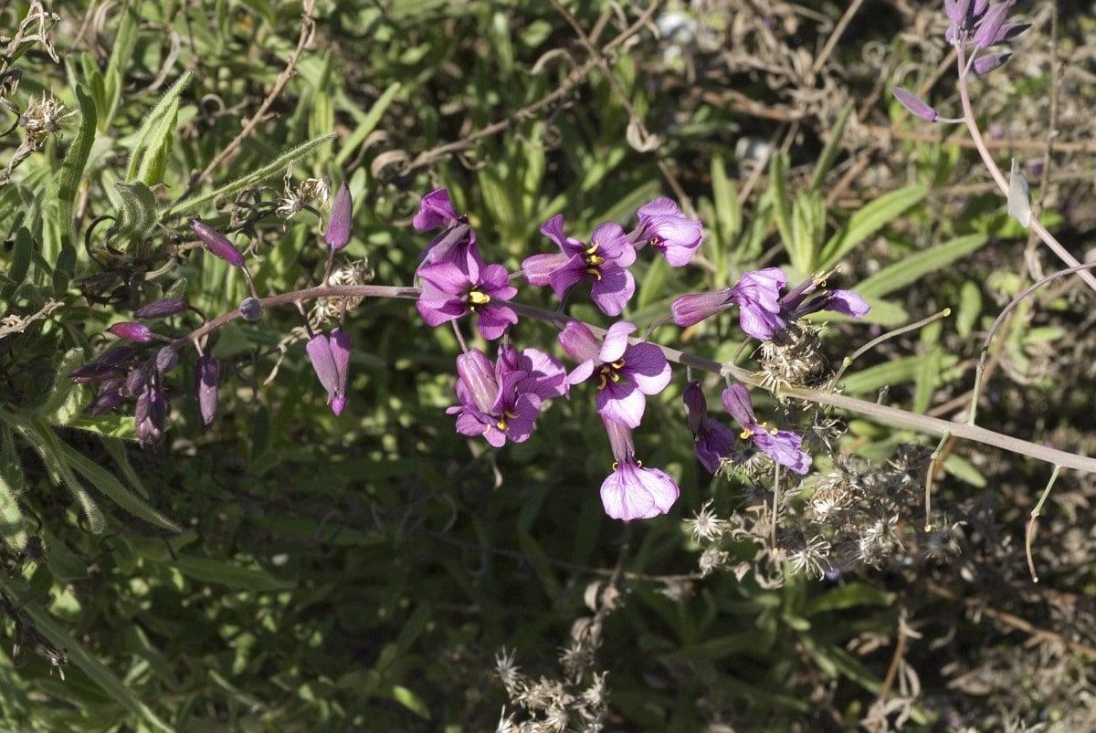 rama con flores de la Moricandia Arvensis