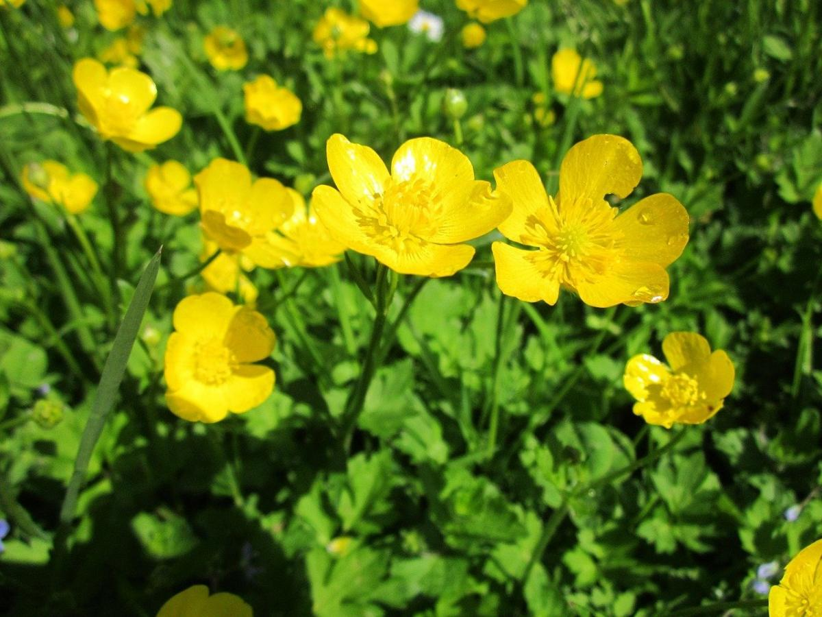 El Ranunculus acris da flores amarillas