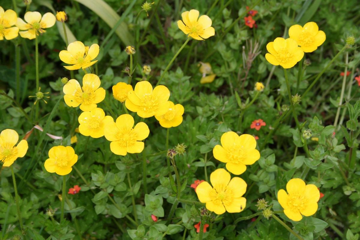 Los Ranunculus dan flores amarillas, blancas o de otros colores