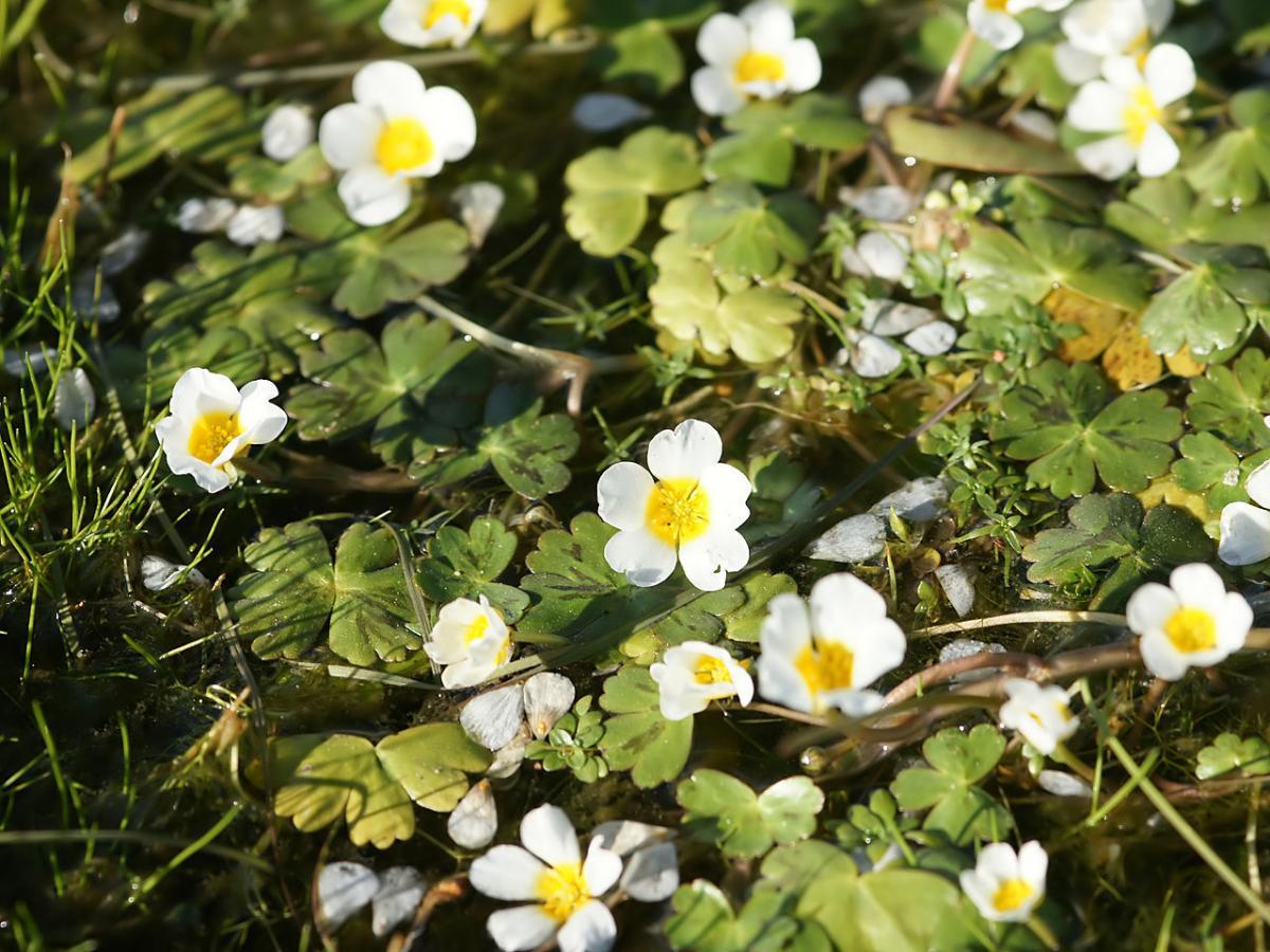 El Ranunculus aquatilis es una hierba que da flores blancas