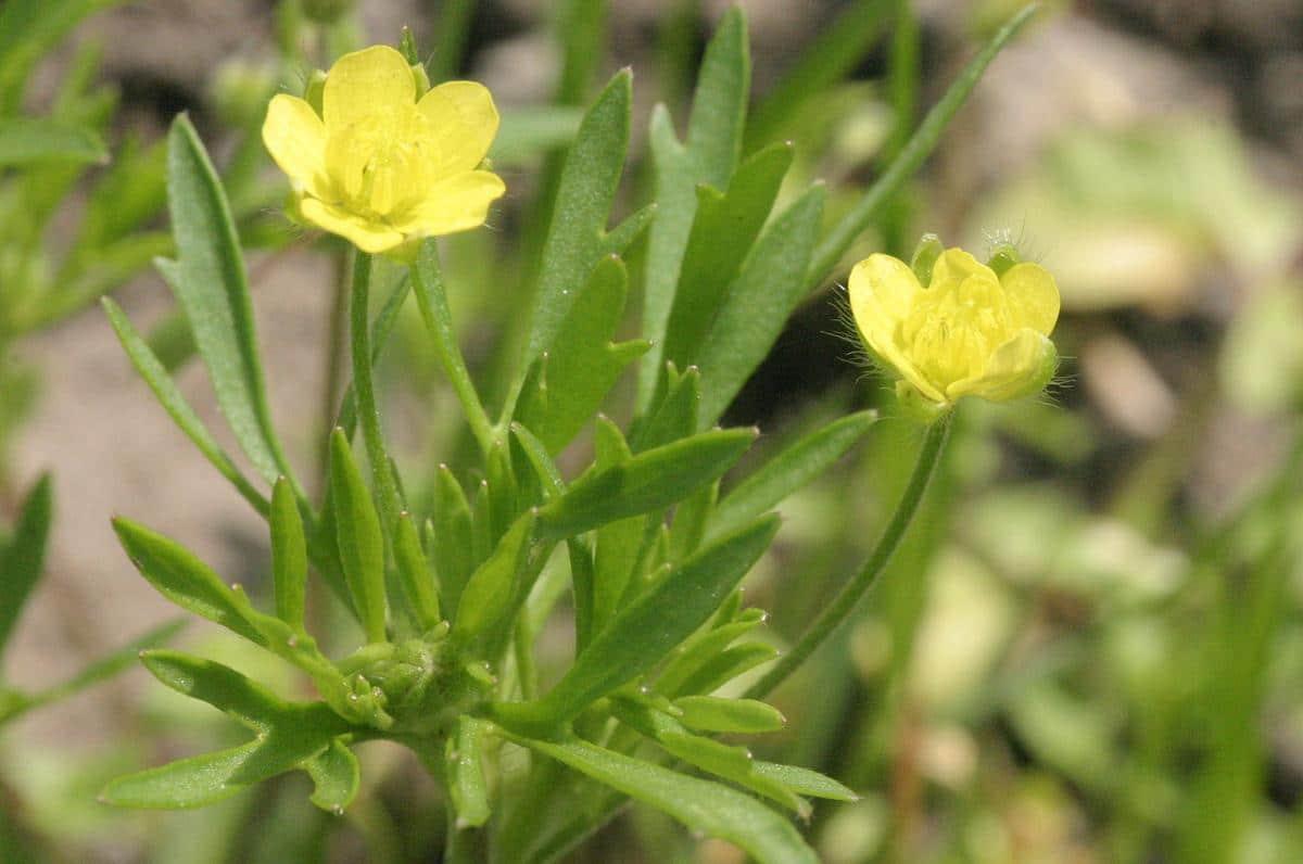 El Ranunculus arvensis es una planta de flores amarillas