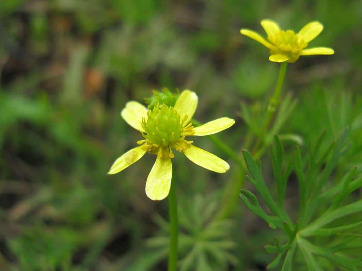 El Ranunculus inundatus es pequeño