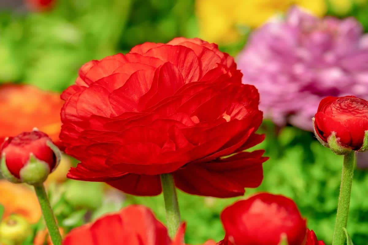 Los ranunculus son bulbosas de flores ornamentales