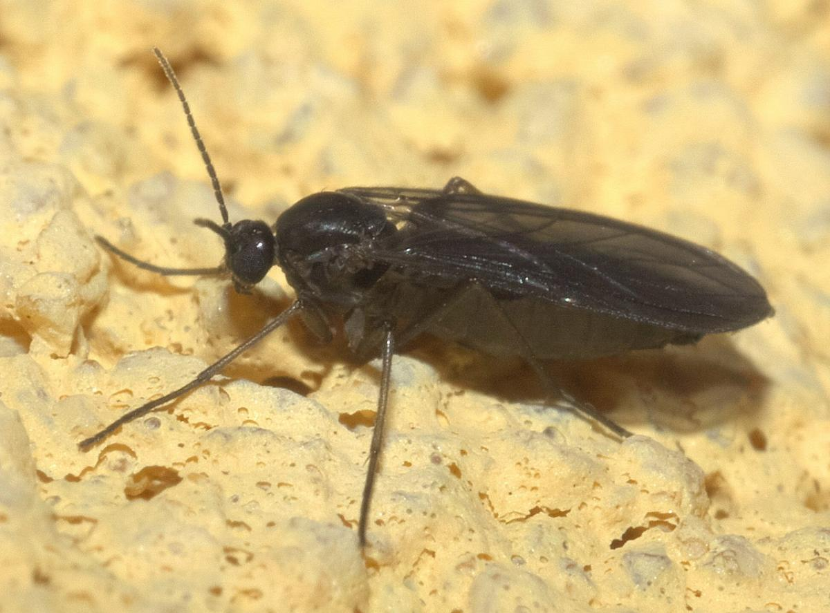 La mosca del mantillo es una plaga de los cactus