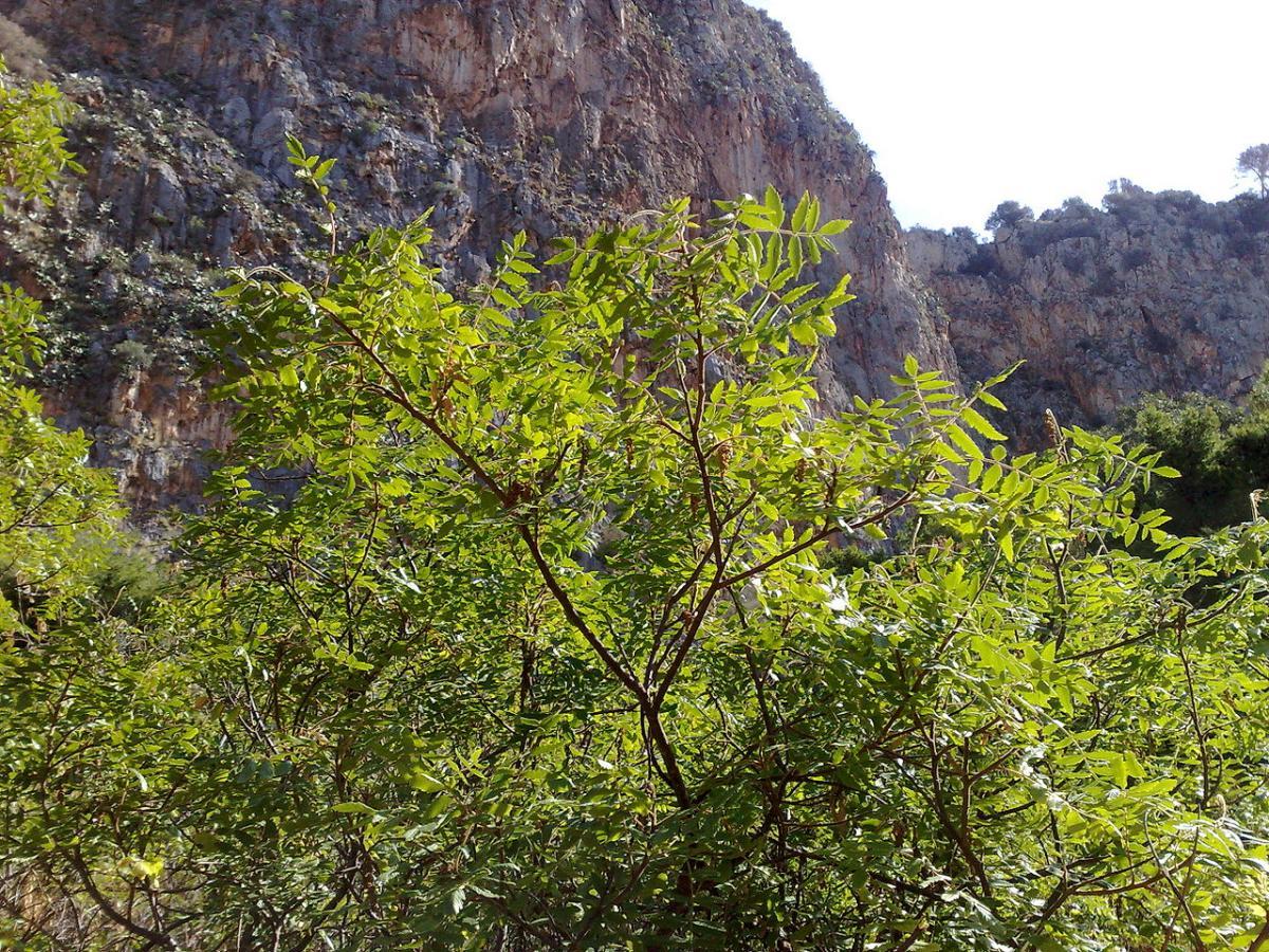 El zumaque es una planta leñosa