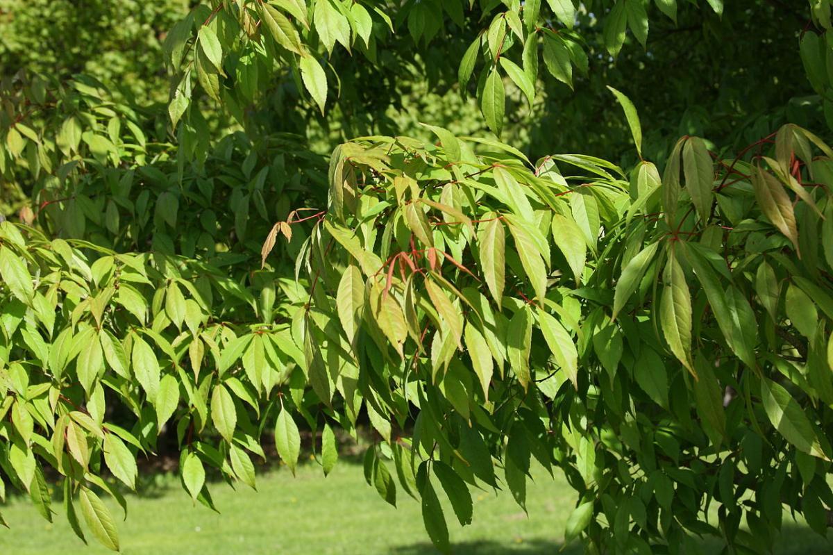 El Acer mandhuricum es un árbol asiático