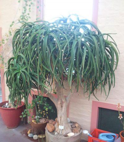 El Aloidendron tongaensis es una planta arbórea