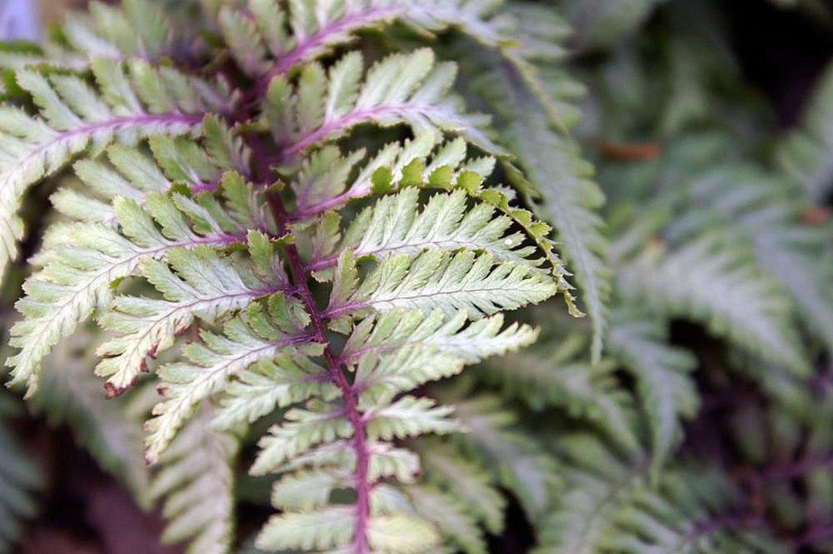 El Athyrium es un helecho verdoso