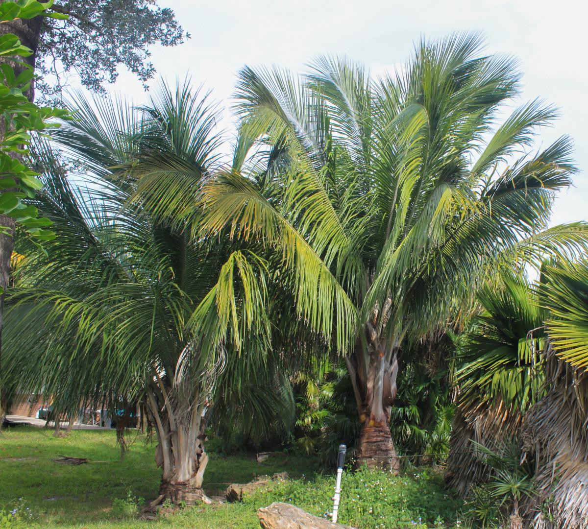 La Beccariphoenix alfredii es una palmera exótica