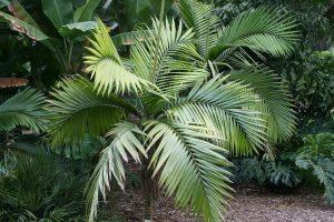 La Burretiokentia hapala es una palmera exótica