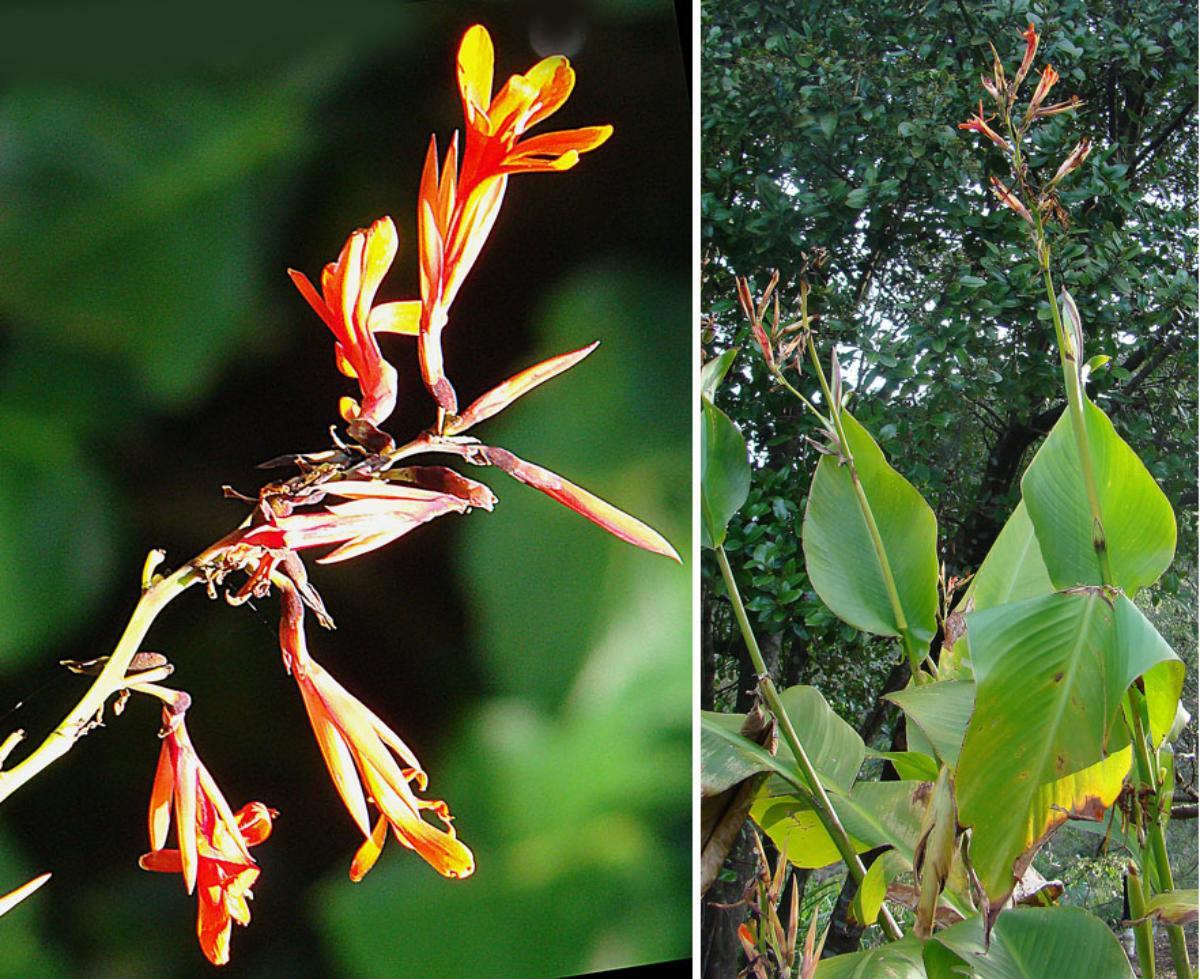 La Canna tuerckheimii es una planta de rápido crecimiento