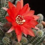 El Echinopsis chamaecereus es un cactus colgante