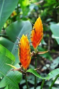 La heliconia episcopalis es propia del amazonas