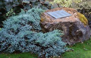 Juniperus squamata en un jardin