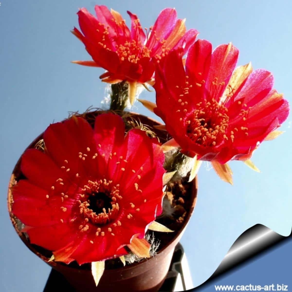 Vista de la Lobivia cinnabarina en flor