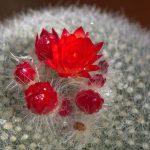 La Parodia haselbergii es un cactus que florece produciendo flores rojas